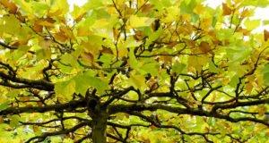 Platane vermehren - Anleitung & Tipps