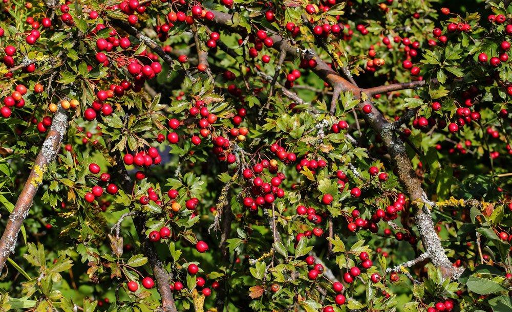 Weißdorn Früchte