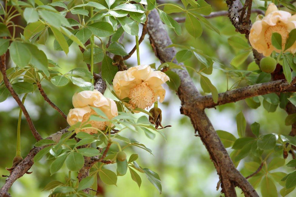 Affenbrotbaum Blüte