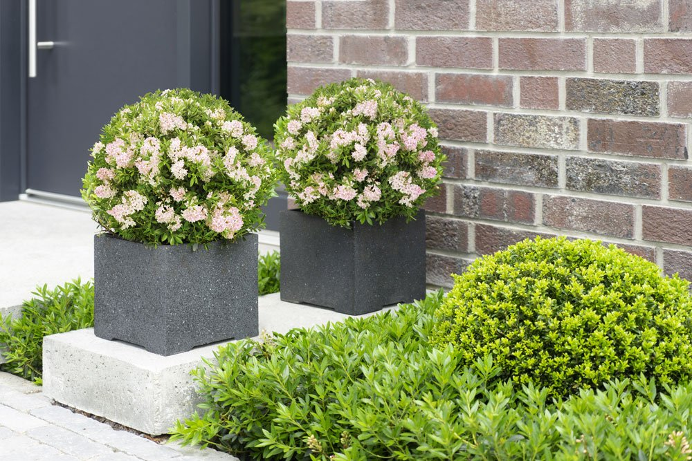 bloombux die immer beliebtere alternative zum buchsbaum. Black Bedroom Furniture Sets. Home Design Ideas
