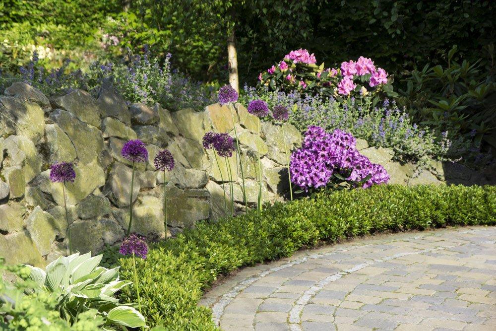 Bloombux® als immergrüne Beeteinfassung mit dazwischengepflanztem Zierlauch (Allium)