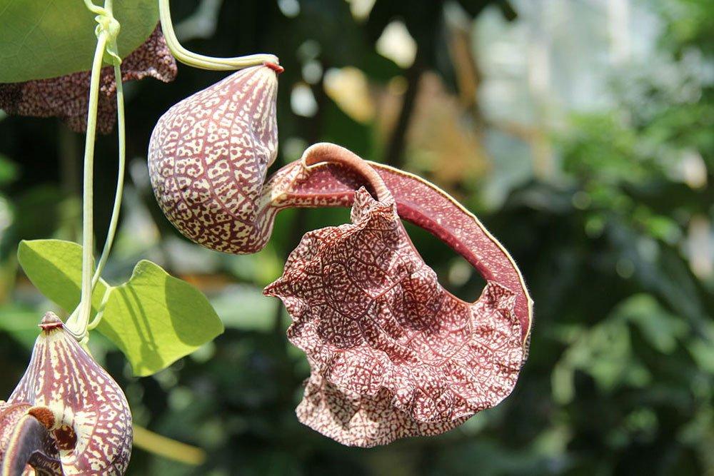 Brasilianische Pfeifenblume