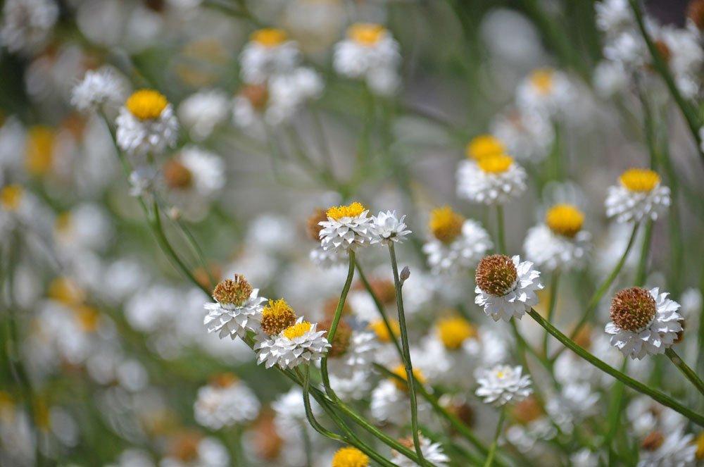 Papierknöpfchen pflanzen – Anforderungen an Standort und ...