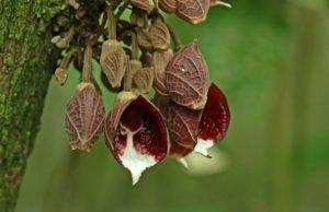 Pfeifenblume pflegen