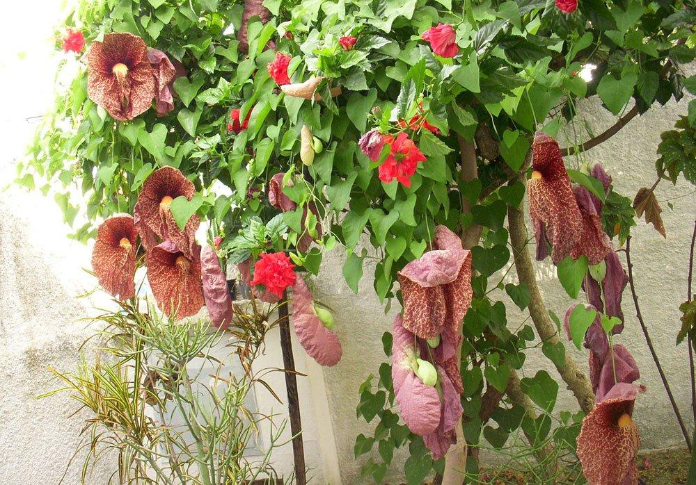 Riesen Pfeifenblume