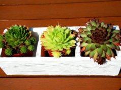 Echeverie vermehren - 4 Möglichkeiten vorgestellt