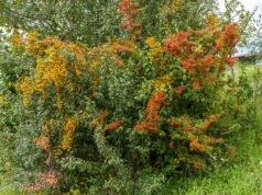 Mehlbeere pflanzen