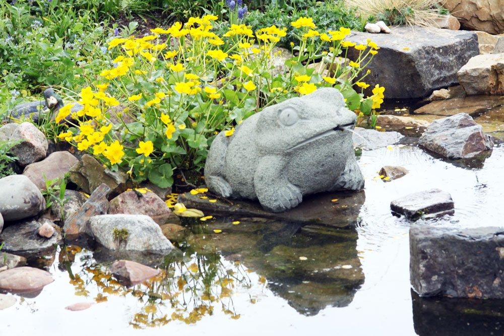 Sumpfdotterblume Teich