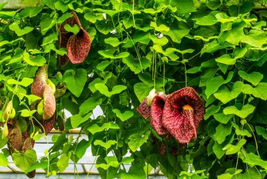 Pfeifenblume pflanzen