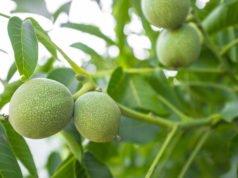 Schwarznussbaum pflanzen
