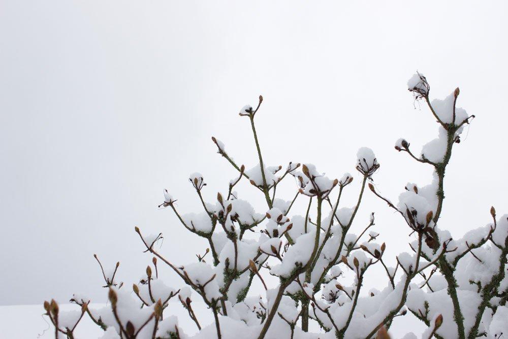 Azalee im Winter