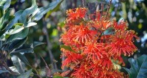 Feuerradbaum pflanzen