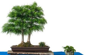 Goldlärche Bonsai Pflege