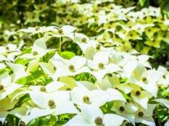Hartriegel pflanzen