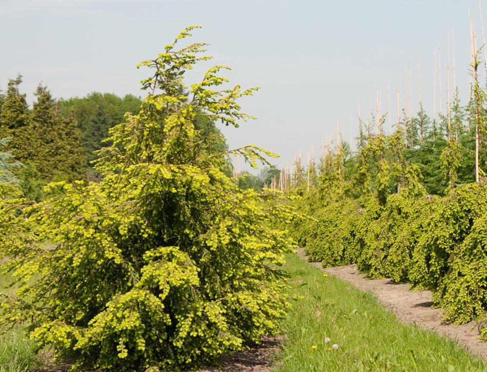 Hemlocktanne pflanzen