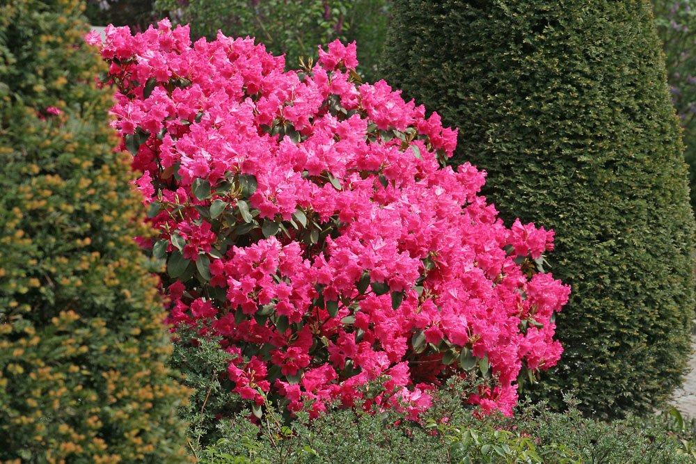 Rhododendron zwischen Koniferen