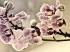 Spinnmilben an Orchideen