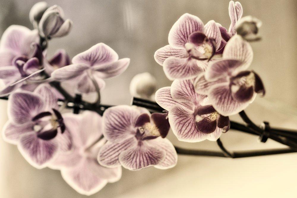 Spinnmilben an Orchideen