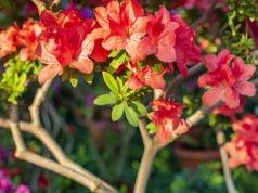 Unterschied Azalee und Rhododendron