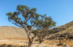 Weihrauchbaum pflegen