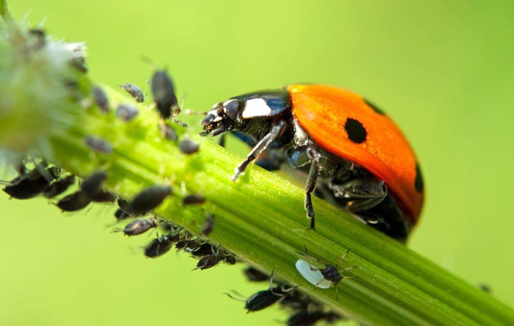 Blattläuse entfernen