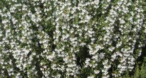 Bohnenkraut pflanzen