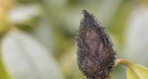 braune Knospe Rhododendron