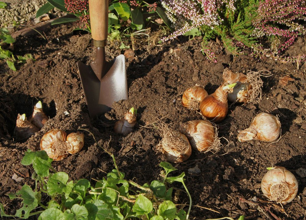 Tulpenzwiebel ausgraben