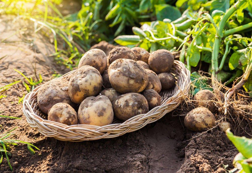 Kartoffeln lagern