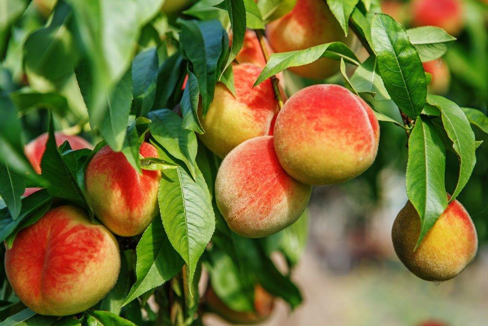 Pfirsiche mit eigenen Kernen vermehren