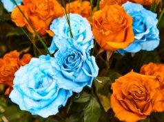 Rosen blau und orange gefärbt