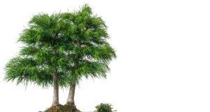 Goldlärche Bonsai vermehren