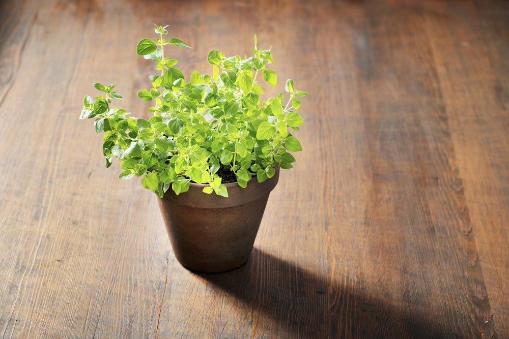 Oreano pflanzen