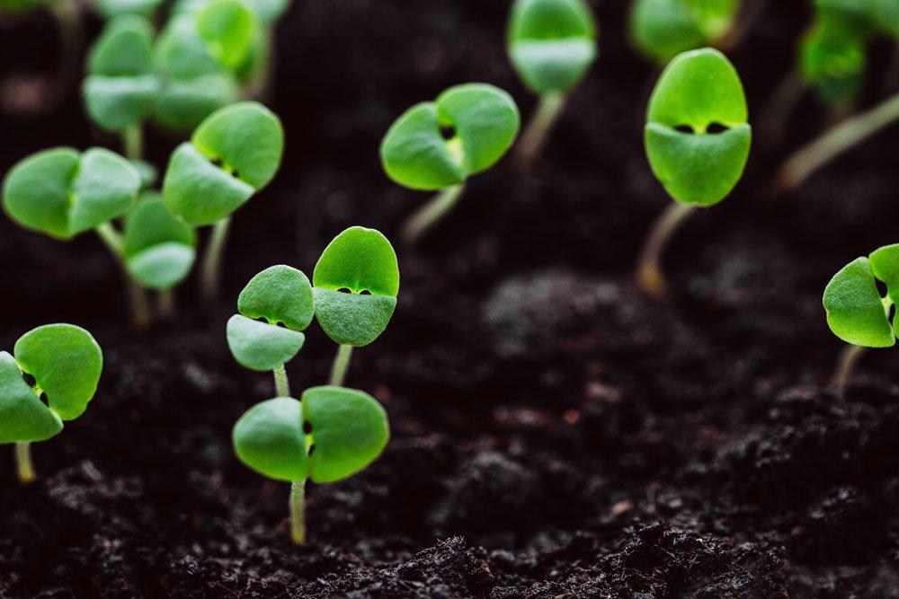 Basilikum vermehren