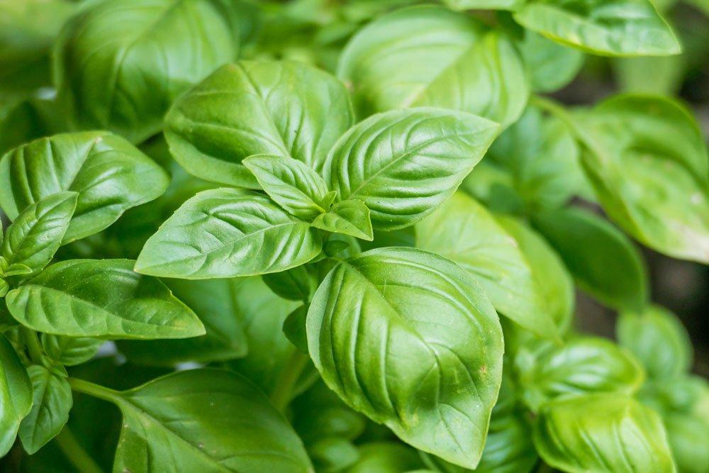 Basilikum - Hinweise zu Pflanzung, Pflege und Verwendung