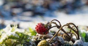 Erdbeeren überwintern