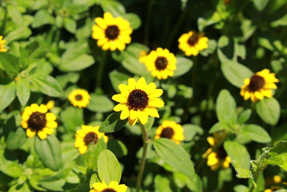 Husarenknöpfchen: Tipps für die Kultivierung der Minisonnenblume