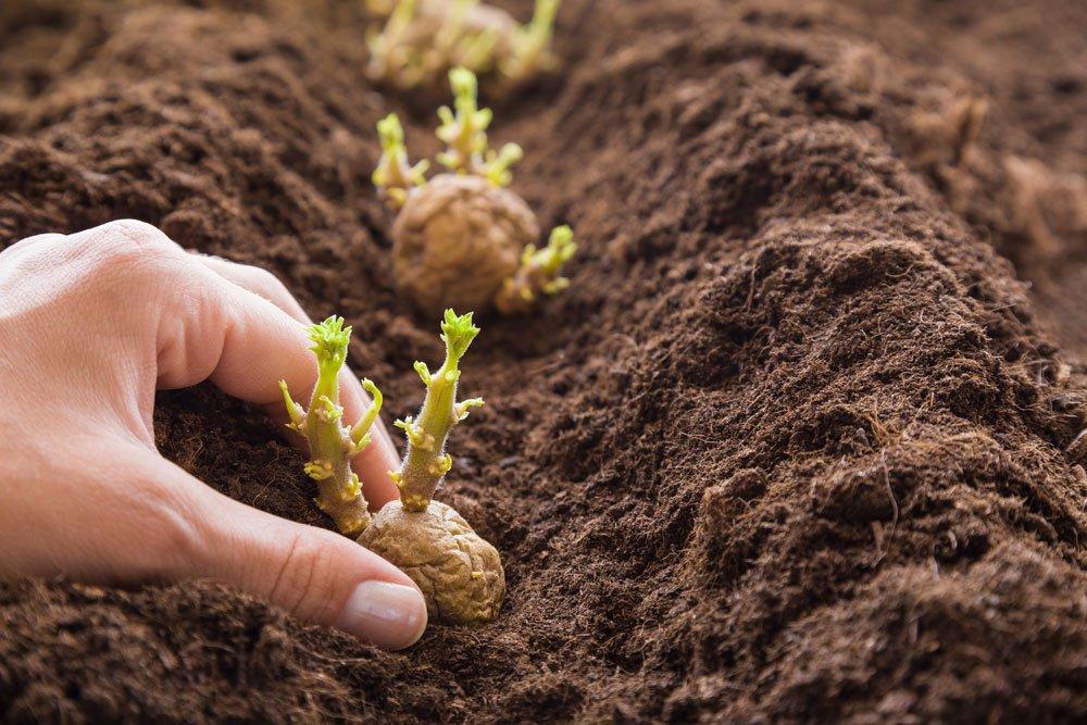 Kartoffeln pflanzen - Anleitung