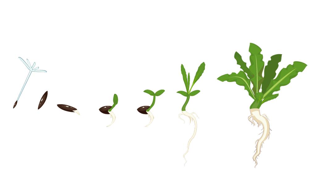 Löwenzahn fliegende Samen