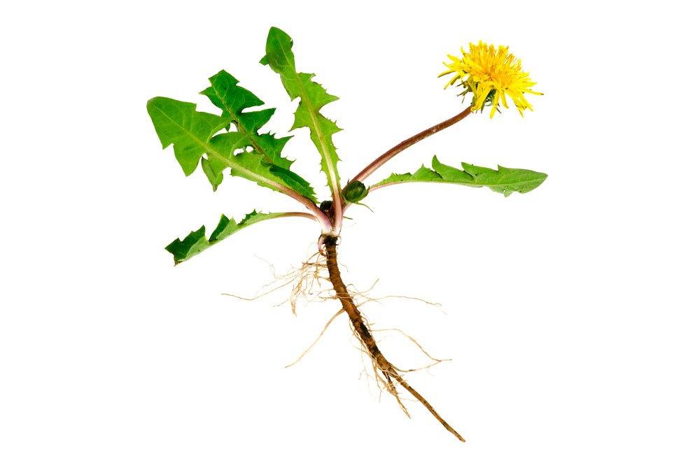 Löwenzahn Wurzel Blätter