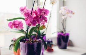 Orchideen Blüten fallen ab