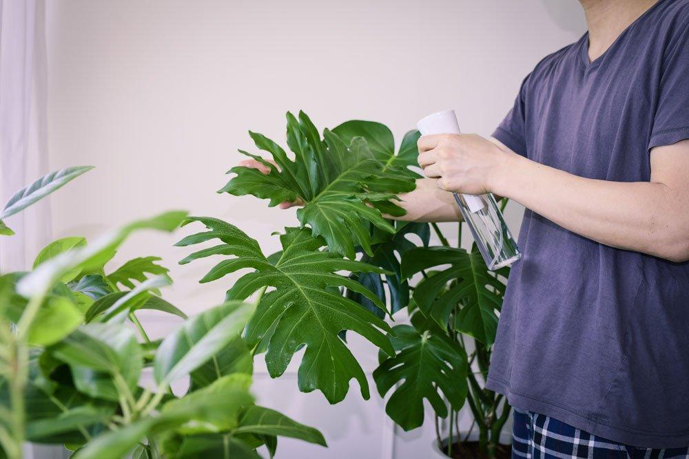 Philodendron besprühen