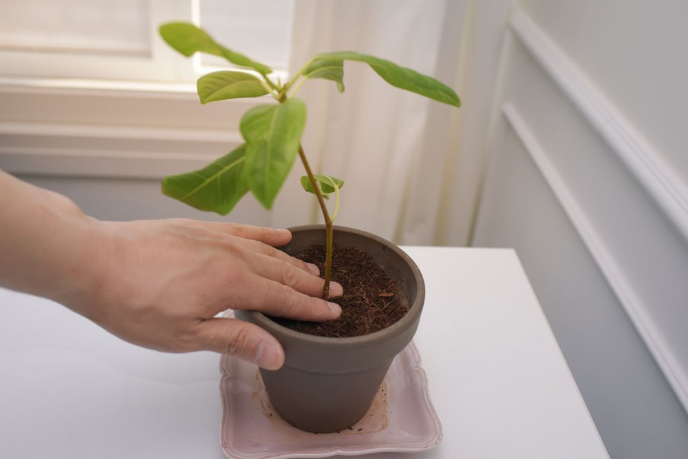 Philodendron vermehren