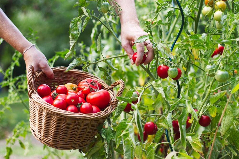 Tomaten ernten - Tageszeit
