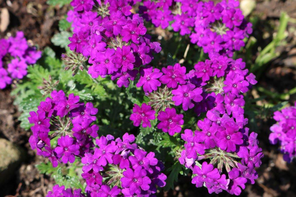 Verbene - Blüte anregen