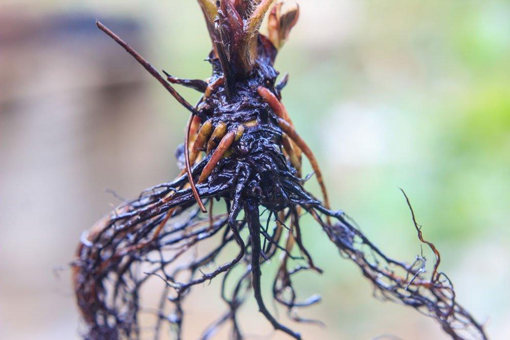 wurzelnackte Pflanzen