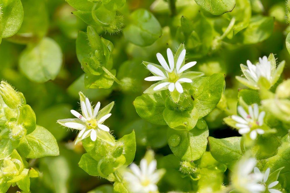 Sternmiere Blüte