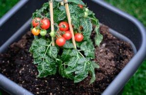 Tomaten pflanzen Topf