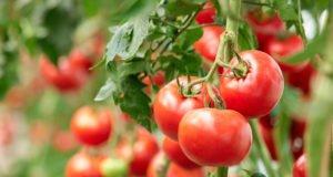 Tomaten veredeln