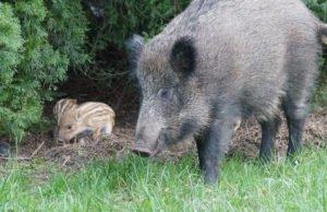 Wildschweine aus dem Garten vertreiben
